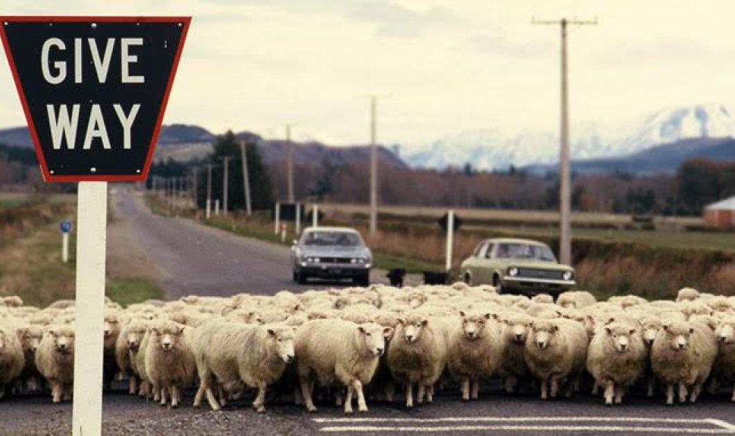Μεθυσμένη οδηγός σκότωσε 38 πρόβατα: Τα τσάκισε με το αυτοκίνητο της - Κυρίως Φωτογραφία - Gallery - Video