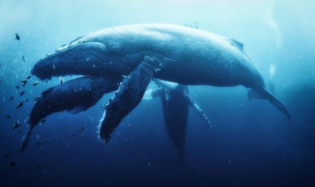 Το δράμα  μιας μητέρας φάλαινας: Οι δύτες βιντεοσκοπούσαν το θρήνο για το χαμό των παιδιών της  - Κυρίως Φωτογραφία - Gallery - Video