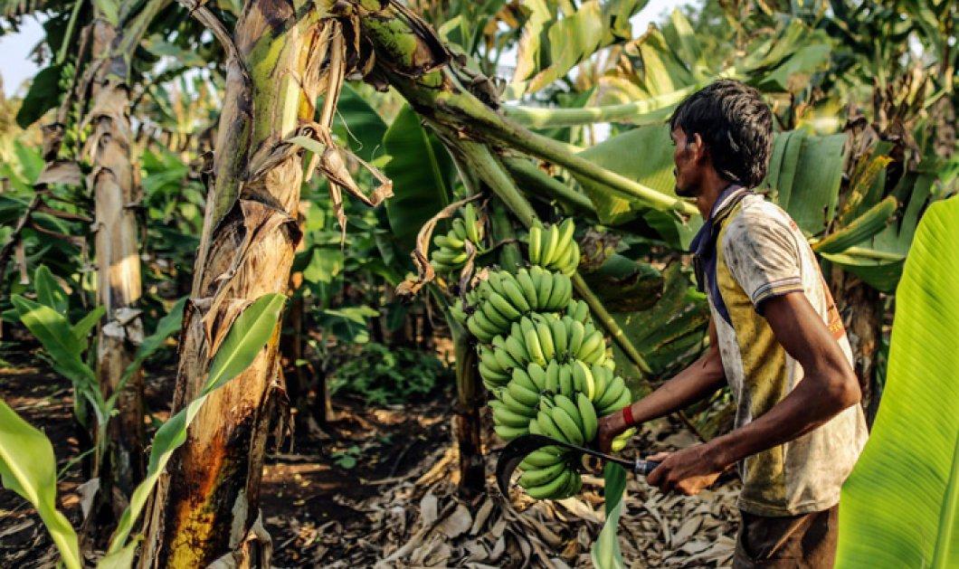 Ινδία: Ληστής «επέστρεψε» το κόσμημα που κατάπιε μετά από... 40 μπανάνες - Κυρίως Φωτογραφία - Gallery - Video