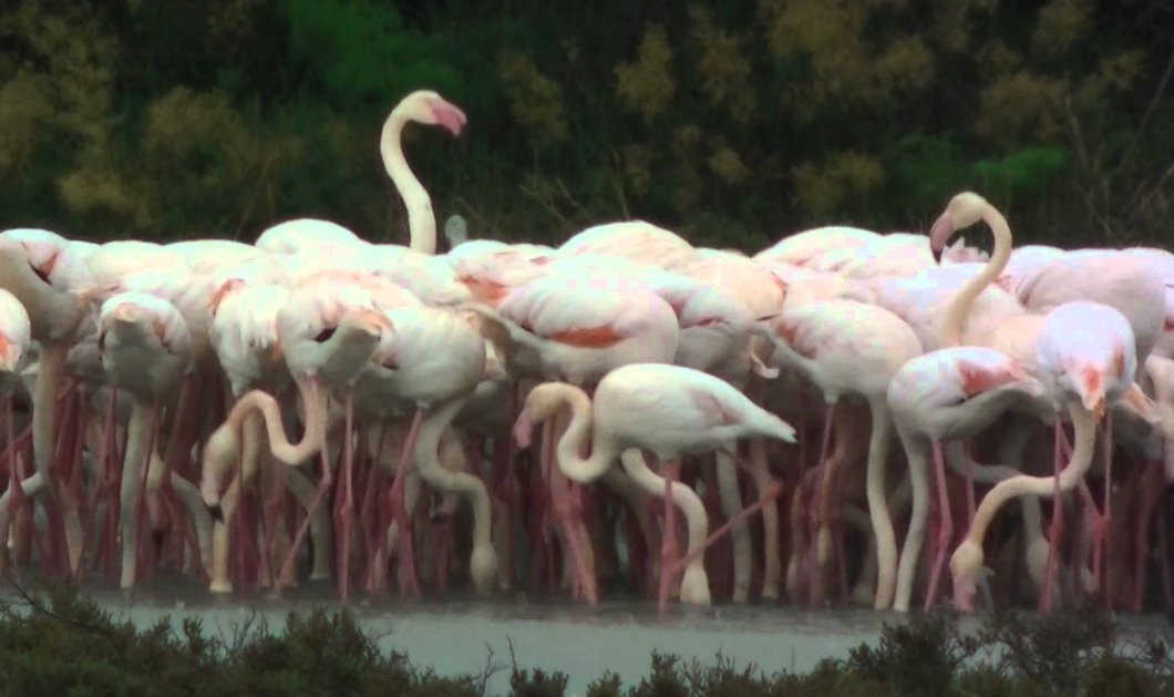 10.000 φλαμίνγκο κατέκλυσαν από την Πρωτοχρονιά την Λάρνακα - Ο βιότοπος της Αλυκή έγινε ροζ! (Βίντεο) - Κυρίως Φωτογραφία - Gallery - Video
