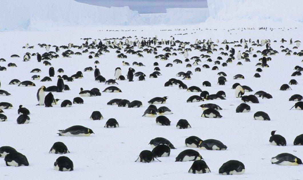 Κρίμαααα: 150.000 νεκροί πιγκουίνοι γιατί εγκλωβίστηκαν από ένα γιγάντιο παγόβουνο  - Κυρίως Φωτογραφία - Gallery - Video