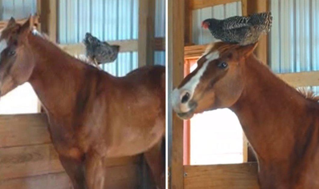 Βίντεο: Ποιος είπε πως ένα άλογο και μια κότα δεν μπορούν να γίνουν φίλοι; Ιδού η απόδειξη!    - Κυρίως Φωτογραφία - Gallery - Video