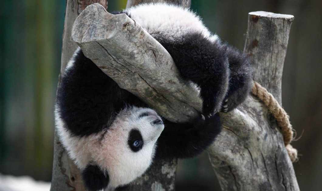 Αξιαγάπητο θηλυκό πάντα 6 μηνών παίζει στον εθνικό ζωολογικό κήπο στην Κουάλα Λουμπούρ - Κυρίως Φωτογραφία - Gallery - Video