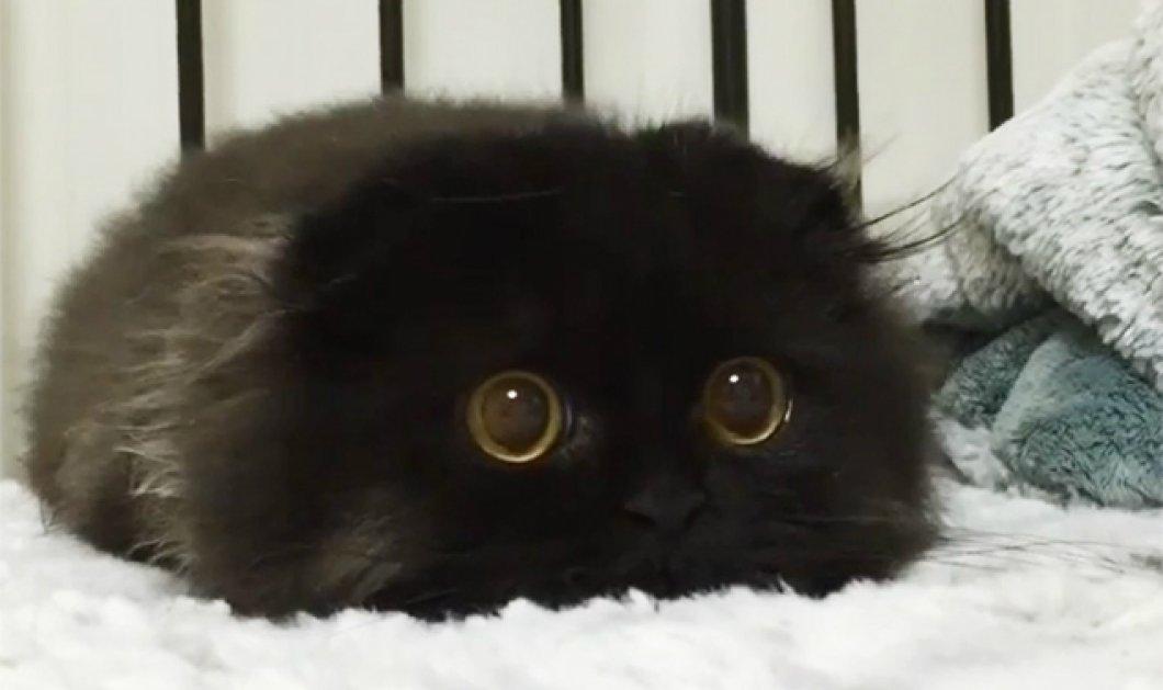 Αυτός είναι ο γάτος ο Gimo: Έχει τα μεγαλύτερα μάτια γάτας στον πλανήτη  - Κυρίως Φωτογραφία - Gallery - Video