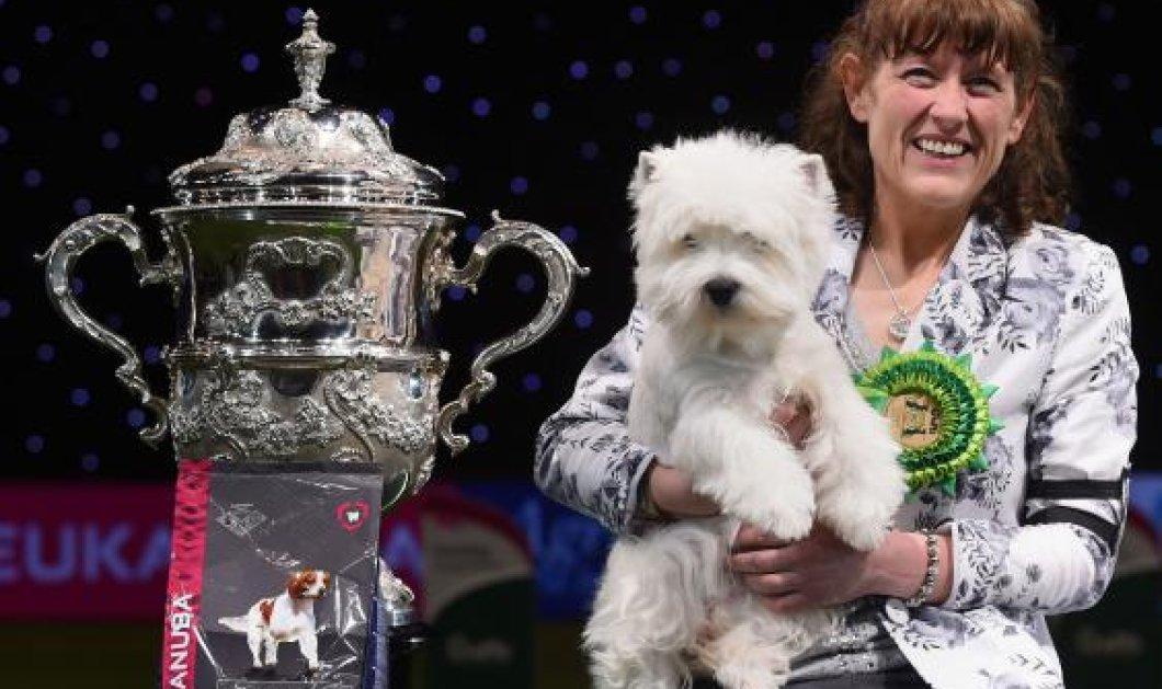 Ένα αξιαγάπητο τεριέ είναι ο μεγάλος νικητής των πιο φημισμένων καλλιστείων σκύλων του κόσμου  - Κυρίως Φωτογραφία - Gallery - Video