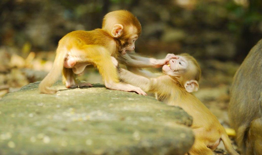 Βίντεο: Απίστευτη πλάκα με άτακτα πιθηκάκια που κλέβουν τουρίστες!  - Κυρίως Φωτογραφία - Gallery - Video