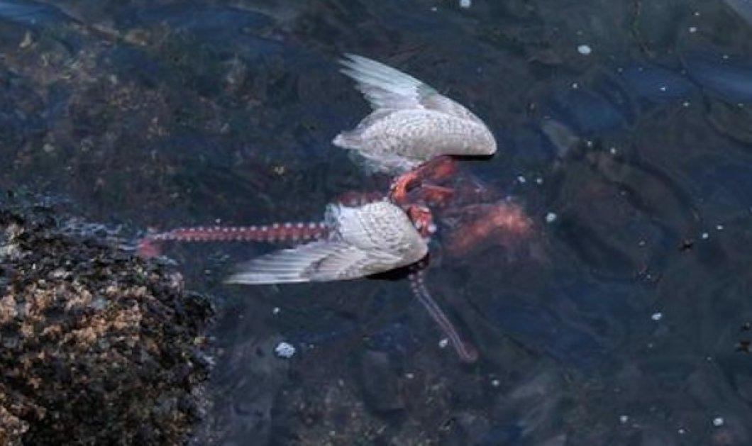 Ανατριχιαστικό βίντεο: Χταπόδι κατασπαράσσει γλάρο με τα πλοκάμια του! - Κυρίως Φωτογραφία - Gallery - Video