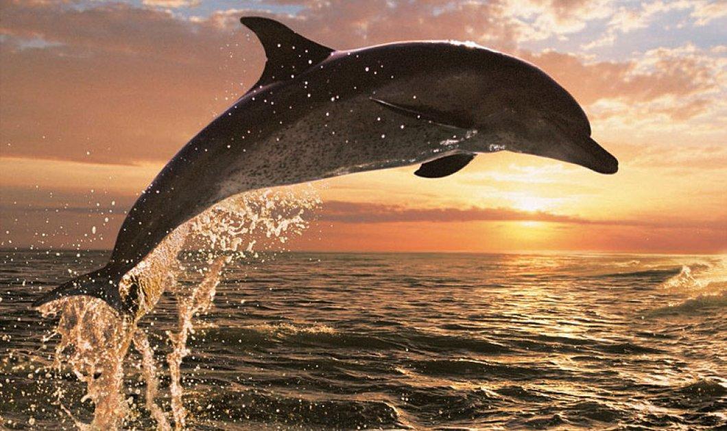 Το πιο γλυκό βίντεο της ημέρας με τα χαριτωμένα παιχνίδια δελφινιών στην Εύβοια - Κυρίως Φωτογραφία - Gallery - Video