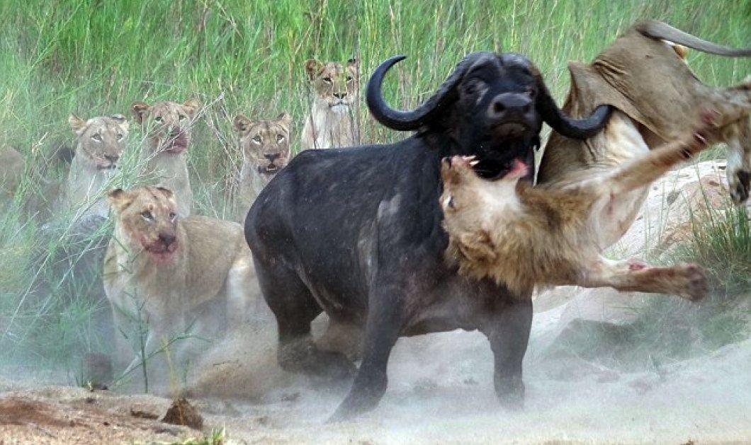 Εκπληκτικό Βίντεο: Βουβάλι ορμά σε αγέλη λιονταριών για να εκδικηθεί για τον τραυματισμένο φίλο του - Κυρίως Φωτογραφία - Gallery - Video