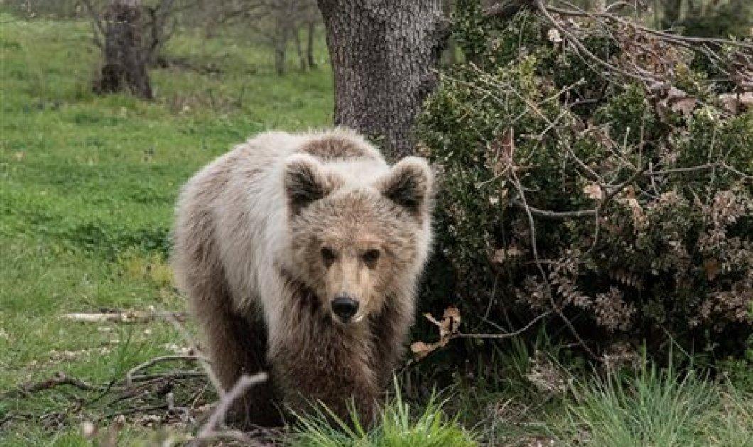 Good News: Ο Πάτρικ, το ορφανό αρκουδάκι της Φλώρινας μεγάλωσε και έκανε την πρώτη του ελεύθερη βόλτα  - Κυρίως Φωτογραφία - Gallery - Video