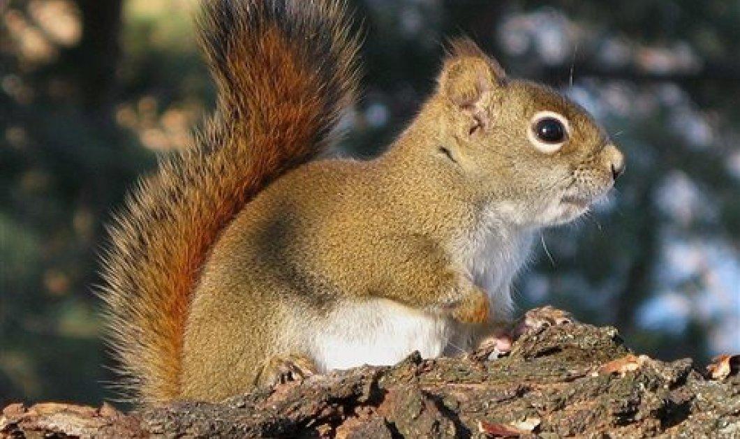 """Απίστευτη φύση: Ακόμα και οι """"σνομπ"""" κόκκινοι σκίουροι υιοθετούν τα ορφανά της οικογένειας - Κυρίως Φωτογραφία - Gallery - Video"""