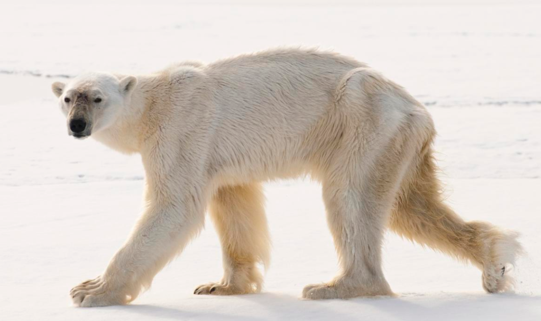 Smile βίντεο: Γλυκούλα πολική αρκούδα μιμείται τα… push-ups νεαρού άντρα - Κυρίως Φωτογραφία - Gallery - Video
