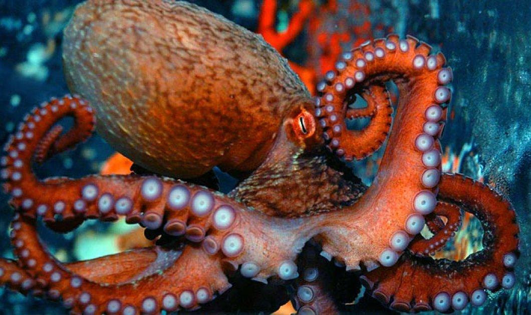 Το πιο πρωτότυπο story: Χταπόδι απέδρασε από το ενυδρείο του & έφτασε ξανά στον ωκεανό  - Κυρίως Φωτογραφία - Gallery - Video