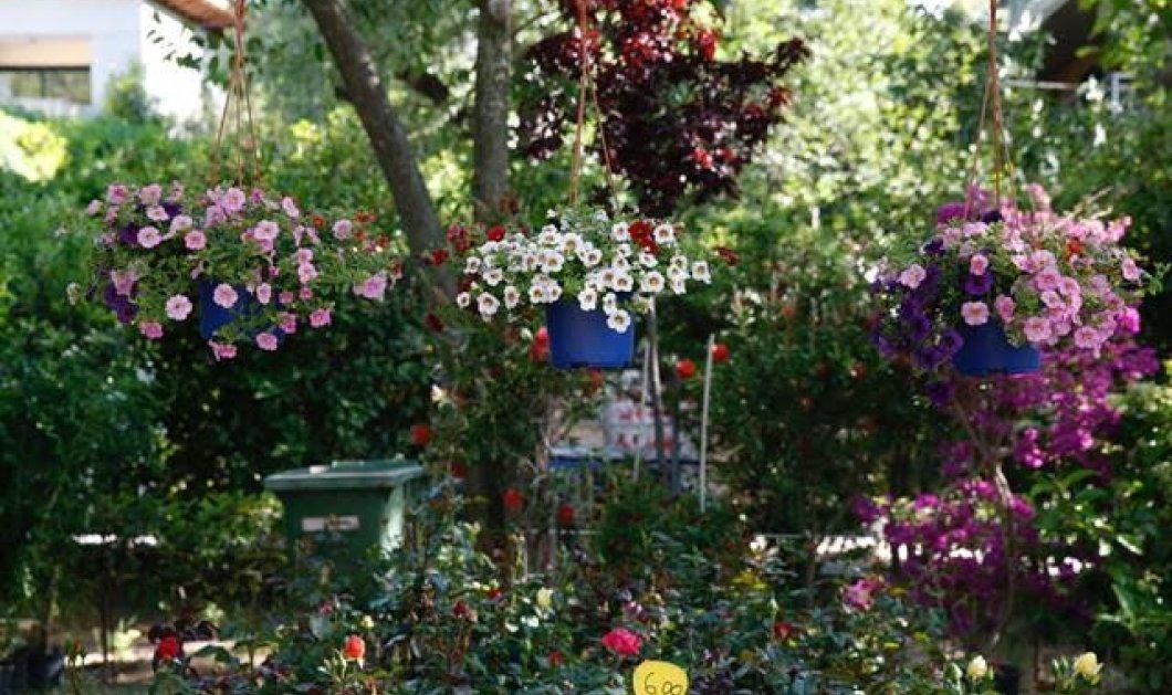Good News: Με λουλούδια, μυρωδικά φυτά γιορτάστε στην 62η Ανθοκομική Έκθεση Κηφισιάς  - Κυρίως Φωτογραφία - Gallery - Video