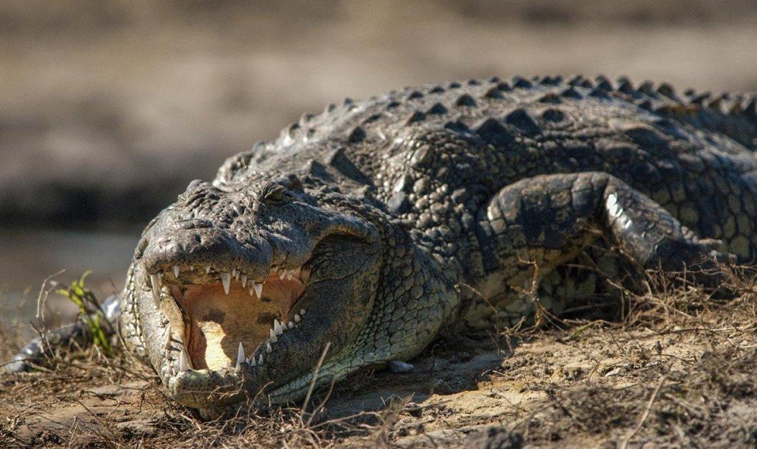 Τρόμος στην Φλόριντα: Οι επικίνδυνοι κροκόδειλοι του Νείλου μετανάστευσαν στα ''φιλόξενα'' νερά της - Κυρίως Φωτογραφία - Gallery - Video