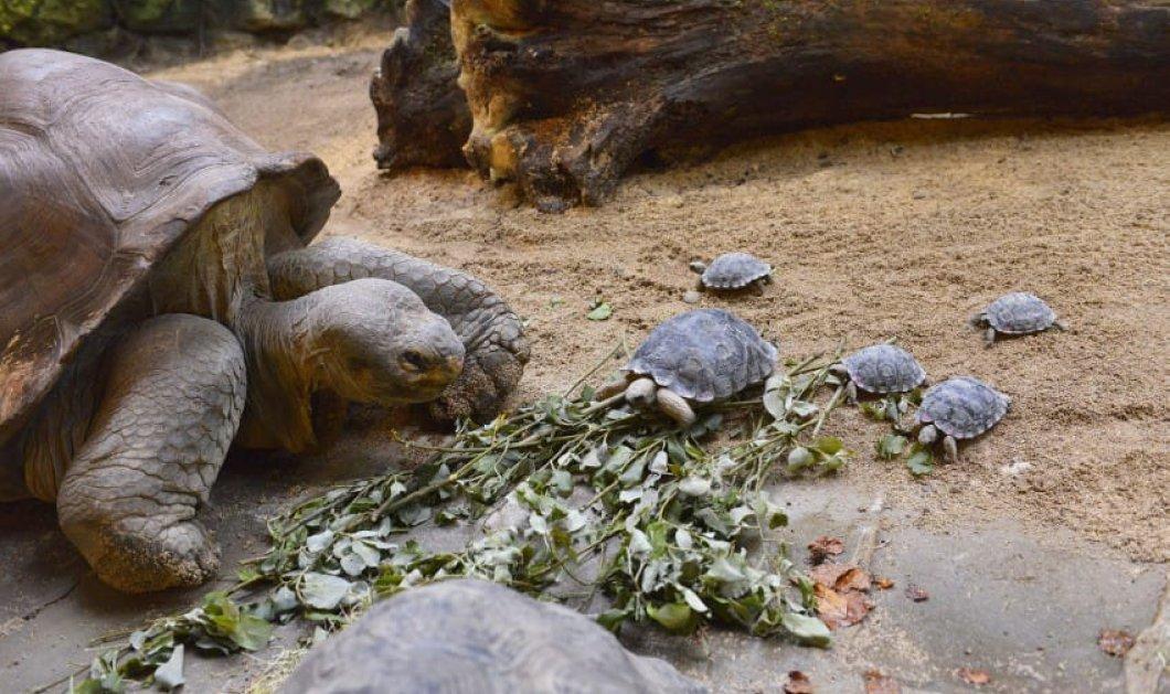 Τοp (Woman) η 80χρονη χελώνα: Γεννάει για πρώτη φορά και οι φωτό με τα χελωνάκια της λιώνουν το διαδίκτυο - Κυρίως Φωτογραφία - Gallery - Video