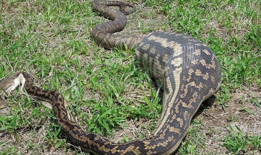 Σοκαριστικές φωτό: Φίδια που έσκασαν από το πολύ φαΐ - Και τι δεν έφαγαν - Κυρίως Φωτογραφία - Gallery - Video