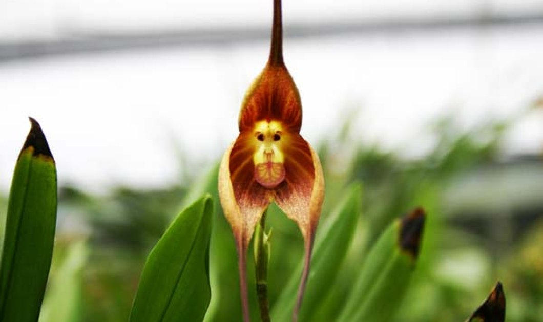 "Aνακαλύφθηκε ορχιδέα με ""πρόσωπο"" μαϊμούς - Είναι καφέ, κίτρινη και εντυπωσιάζει - Κυρίως Φωτογραφία - Gallery - Video"
