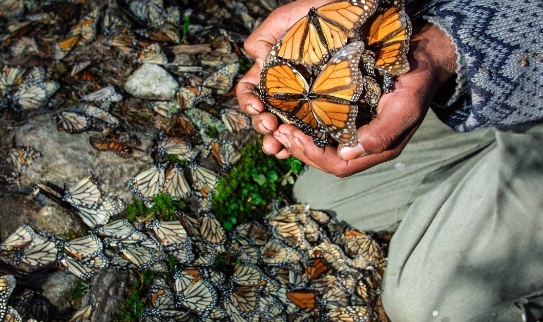 Μοναδικές φωτό από το δάσος των πεταλούδων στο Μεξικό: Eκατομμύρια ''Μονάρχες'' σε υπέροχα κλικς - Κυρίως Φωτογραφία - Gallery - Video