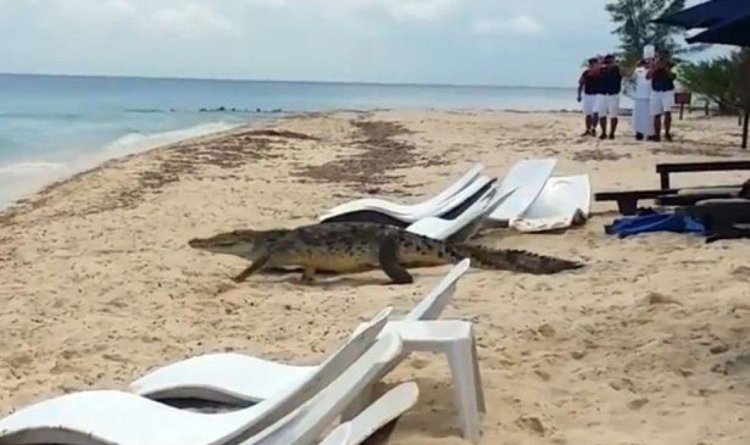 Βίντεο: Χαλάρωναν στην παραλία όταν ξαφνικά  ένας κροκόδειλος 3 μέτρων άρχισε να κόβει βόλτες - Δεν έμεινε κανείς στην ξαπλώστρα   - Κυρίως Φωτογραφία - Gallery - Video