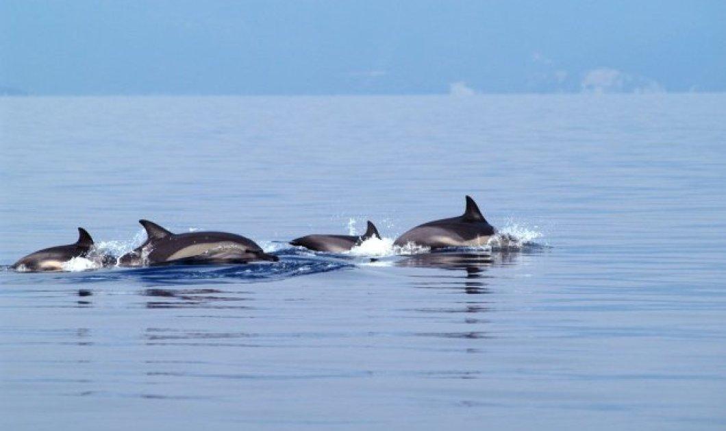 Βίντεο: Δελφίνια κολυμπούν στο Θερμαϊκό & καταγράφονται on camera - Κυρίως Φωτογραφία - Gallery - Video