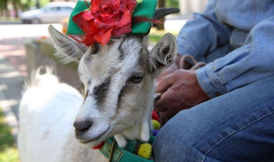 Βίντεο: Καλλιστεία για...κατσίκες διοργανώνει η Λιθουανία - Ποια ήταν η πιο όμορφη φέτος; - Κυρίως Φωτογραφία - Gallery - Video