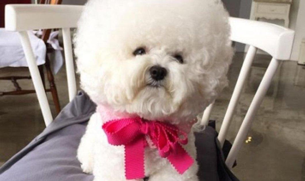 Tori η ''αφρατούλα'': Η σκυλίτσα που μοιάζει με μαξιλάρι & έχει  69.000 followers στο Instagram - Κυρίως Φωτογραφία - Gallery - Video