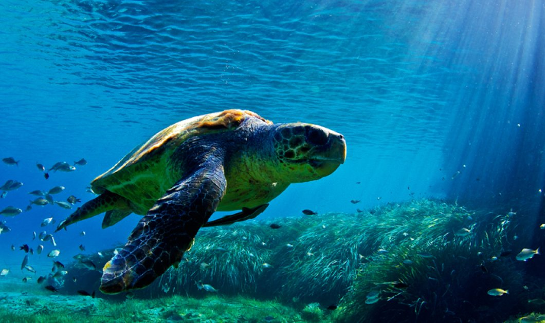 Good news: Η χελώνα Ολίβια έγινε καλά και επέστεψε ξανά στο σπίτι της - Κυρίως Φωτογραφία - Gallery - Video
