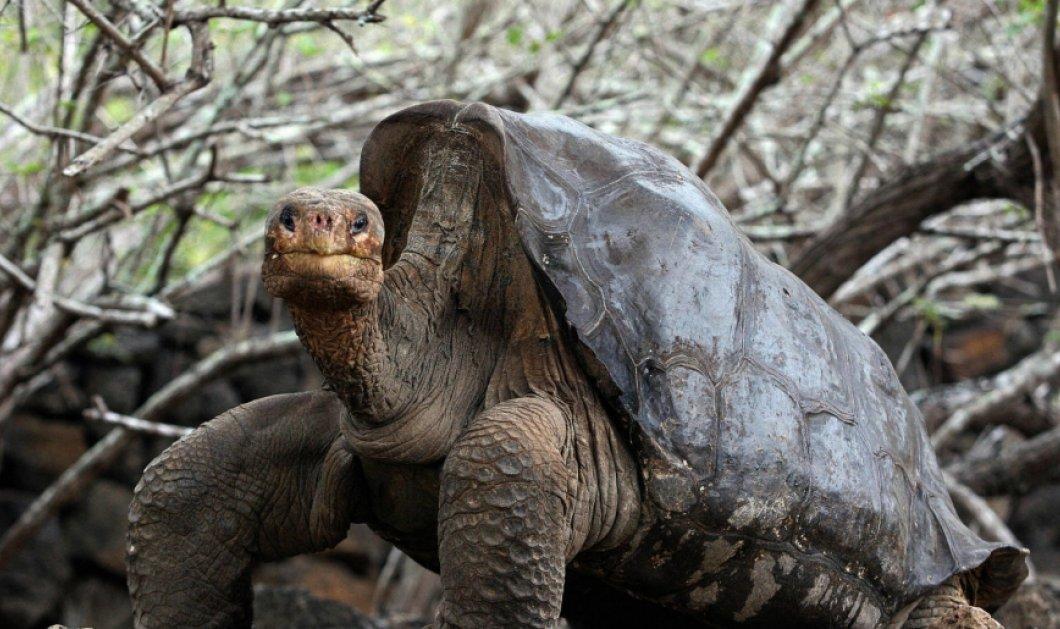 Αυτός είναι ο Ντιέγκο, η γιγάντια χελώνα των Γκαλαμπάγκος που έσωσε το είδος της - Έχει κάνει 800 παιδιά!  - Κυρίως Φωτογραφία - Gallery - Video