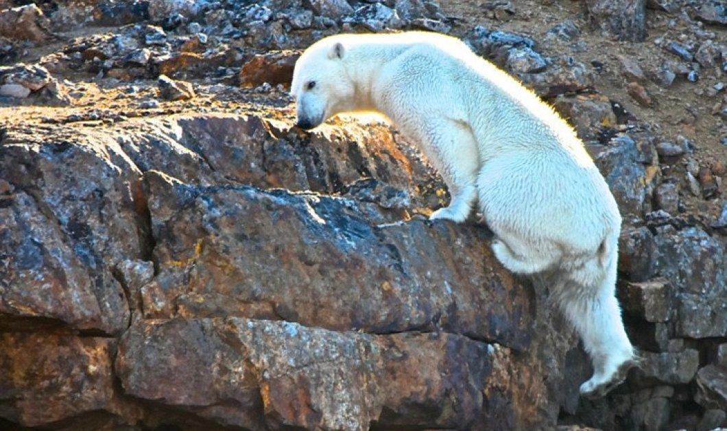Σώστε τον πλανήτη! Πολική αρκούδα μάταια σκαρφαλώνει σε βράχο χωρίς πάγο - Η κλιματική αλλαγή - Κυρίως Φωτογραφία - Gallery - Video