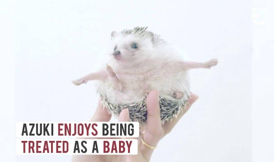 Bίντεο - Make your day: Aυτός ο σκαντζόχοιρος έχει γίνει viral - Μικροσκοπικός & cutie - Κυρίως Φωτογραφία - Gallery - Video
