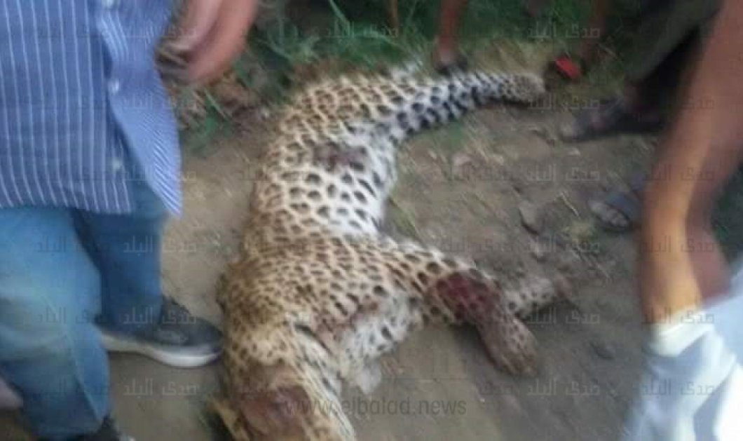 Θλιβερό story: Λεοπάρδαλη σκοτώνει 9χρονη & θανατώνεται από αστυνομικούς - Μικρά παιδιά βγάζουν φωτό με το κουφάρι του ζώου - Κυρίως Φωτογραφία - Gallery - Video