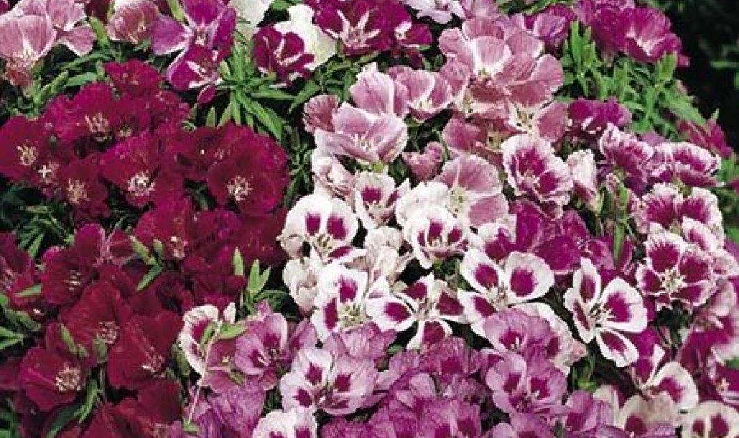 Αυτά είναι τα λουλούδια που σπέρνουμε το φθινόπωρο: Βιολέτα, Γαρύφαλλα, Λιναράκι  - Κυρίως Φωτογραφία - Gallery - Video