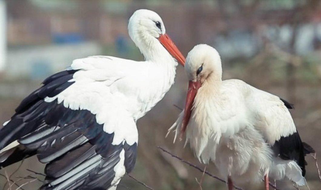 Love story of the day: Ο μεγάλος έρωτας δυο πελαργών εδώ και 15 χρόνια: Αυτή τραυματίστηκε, αυτός γυρίζει κοντά της κάθε χρόνο - Κυρίως Φωτογραφία - Gallery - Video