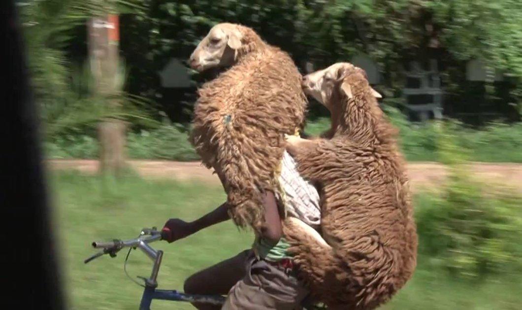 Smile: Απίθανο βίντεο - Ποδηλάτης κάνει βόλτα με δύο πρόβατα μαζί του  - Κυρίως Φωτογραφία - Gallery - Video