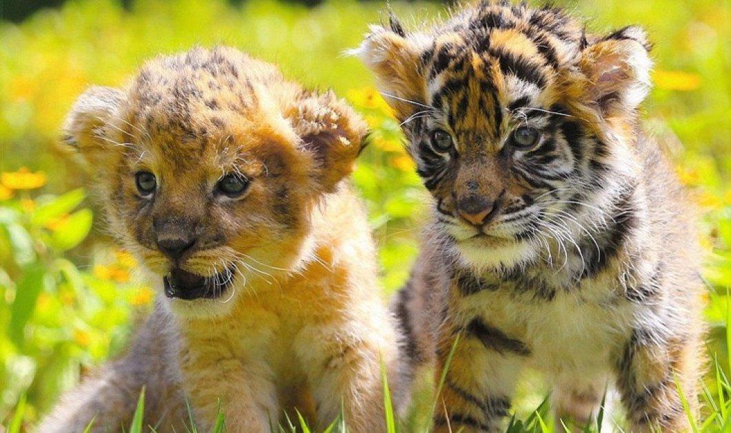 Ατελείωτες ώρες παιχνιδιού σε ζωολογικό κήπο της Ιαπωνίας με τίγρεις, λιονταράκια και κουνελάκια    - Κυρίως Φωτογραφία - Gallery - Video