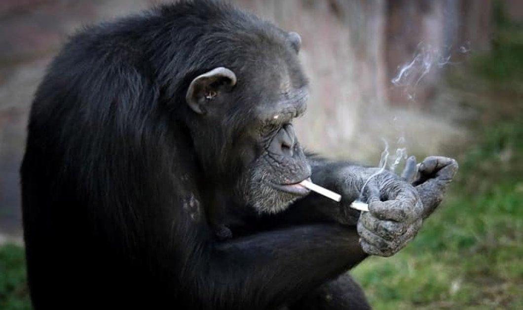 Αυτή η 19χρονη χιμπατζίνα με το όνομα Αζαλέα, καπνίζει ένα πακέτο τσιγάρα την ημέρα - Α ρε νταλκάδες! - Κυρίως Φωτογραφία - Gallery - Video