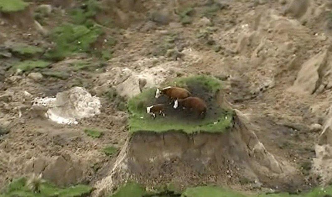 Βίντεο: Τρεις αγελάδες εγκλωβίστηκαν σε... κομμάτι γης  από τον σεισμό στη Νέα Ζηλανδία  - Κυρίως Φωτογραφία - Gallery - Video