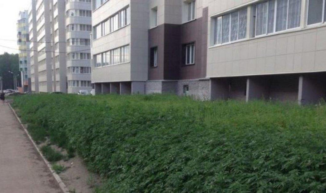Απίστευτη γκάφα από τον Δήμο της Μόσχας: Αντί για γκαζόν φύτεψαν 230 δενδρύλλια κάνναβης! - Κυρίως Φωτογραφία - Gallery - Video