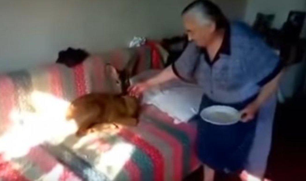 Top Woman η Αγρινιώτισσα γιαγιά που έχει για κατοικίδιο της... ένα ζαρκάδι - Βίντεο - Κυρίως Φωτογραφία - Gallery - Video