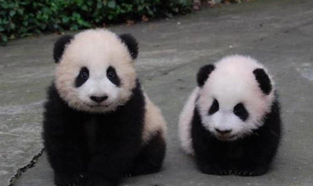 To cutie της ημέρας: Μικρούλι panda προσπαθεί να σταθεί στα πόδια του  - Κυρίως Φωτογραφία - Gallery - Video