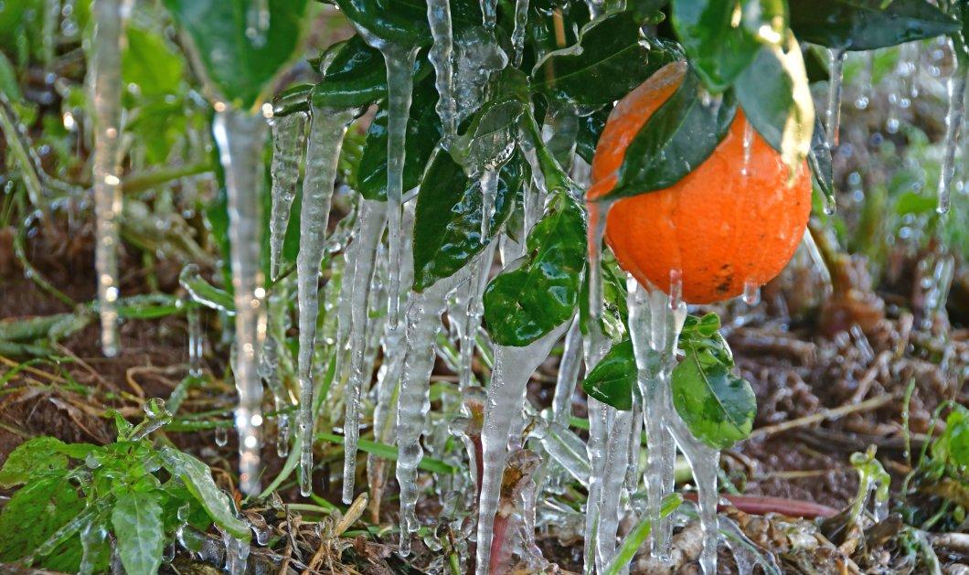 """Ο πρωινός παγετός μετέτρεψε την Αργολίδα σε """"παγωμένο βασίλειο"""" - Δείτε φωτογραφίες από τις ζημιές στην αγροτική παραγωγή. - Κυρίως Φωτογραφία - Gallery - Video"""