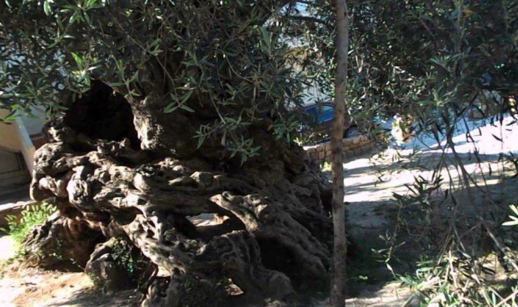 Good News: Η πιο παλιά ελιά στον κόσμο βρίσκεται στην Κρήτη - Στέκεται αγέρωχη εδώ & 3.000 χρόνια - Κυρίως Φωτογραφία - Gallery - Video