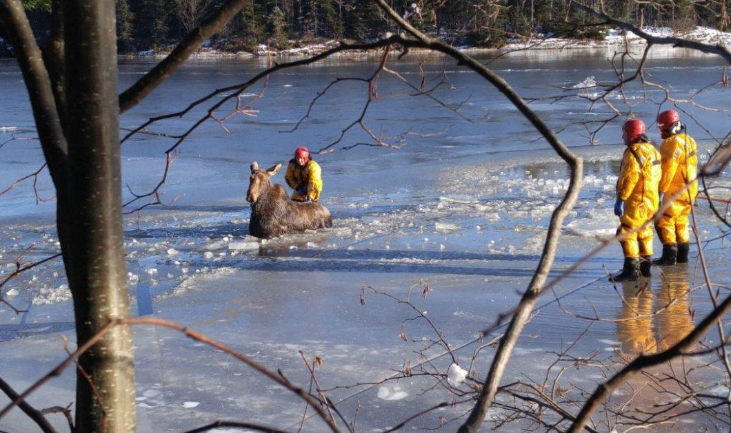 Απίθανη διάσωση: Τρεις ριψοκίνδυνοι πυροσβέστες απεγκλώβισαν μέσα από τον παγωμένο ποταμό μια άγρια άλκη (βίντεο) - Κυρίως Φωτογραφία - Gallery - Video