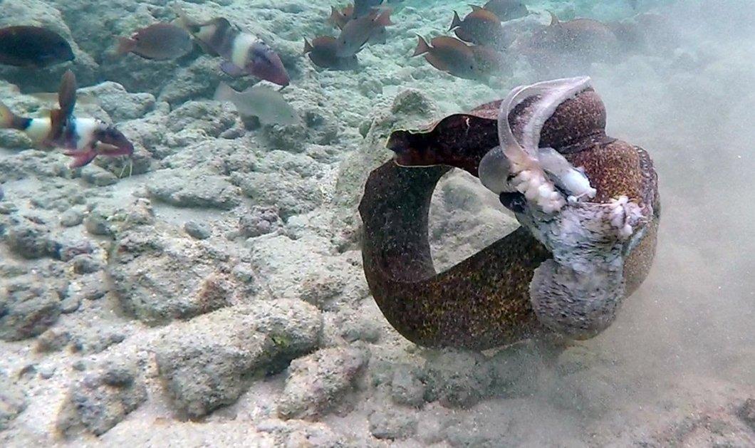 Εκπληκτικό βίντεο National Geographic: Σμέρνα εναντίον χταποδιού - H μάχη με απροσδόκητο τέλος - Κυρίως Φωτογραφία - Gallery - Video