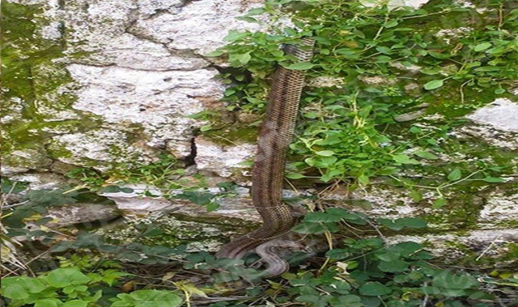 Πύργος: Φίδι ξύπνησε από την χειμερία νάρκη & έκανε... βόλτες στην πόλη (Φωτό) - Κυρίως Φωτογραφία - Gallery - Video