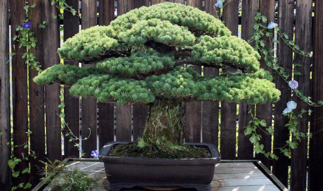 Story of the day: 391 ετών δέντρο Μπονσάι επιβίωσε της ατομικής βόμβας στη Χιροσίμα & σήμερα ακόμη μεγαλώνει - Κυρίως Φωτογραφία - Gallery - Video