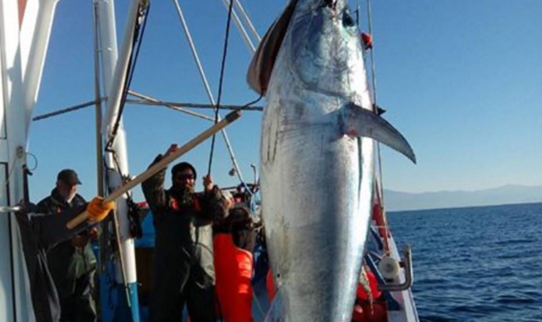 Χριστουγεννιάτικη έκπληξη για Σκοπελίτες ψαράδες: Εβγαλαν τεράστιο τόνο 185 κιλά!  - Κυρίως Φωτογραφία - Gallery - Video