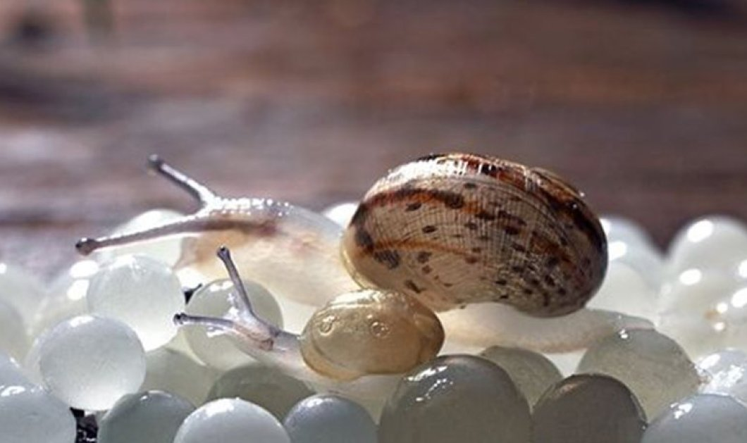 Made In Greece: Λευκό χαβιάρι από σαλιγκάρια 3.200€ - 30 μαθητές & 1 κοσμήτορας οι δημιουργοί - Κυρίως Φωτογραφία - Gallery - Video