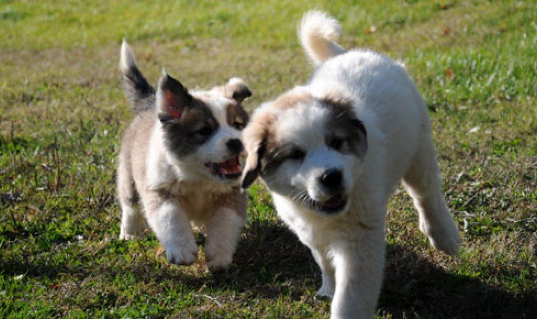 Ποιες είναι οι 6 ελληνικές ράτσες σκύλων - Το πρώτο μας Made in Greece γιά σκυλάκια! - Κυρίως Φωτογραφία - Gallery - Video